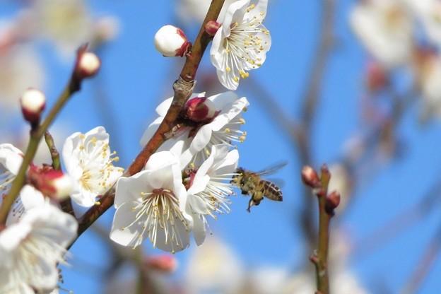 豊後梅&蜜蜂_6015