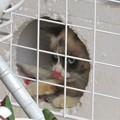 タヌキ猫タマちゃん家_6491