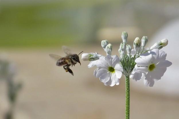 蜜蜂&西洋桜草白_6806