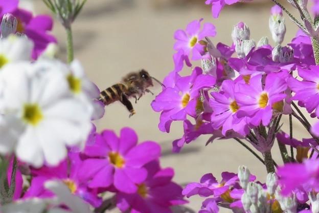 蜜蜂&西洋桜草_7115