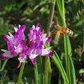 レンゲ草&蜜蜂_7875