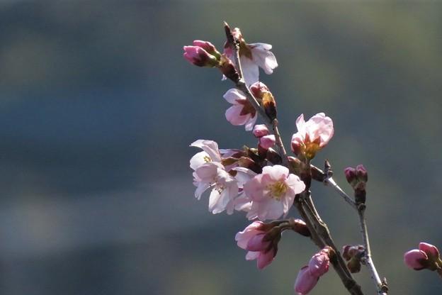 彼岸桜開花_7888