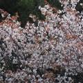 Photos: 山桜満開_8000