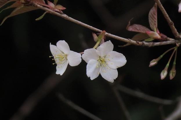 Photos: 山桜_8015