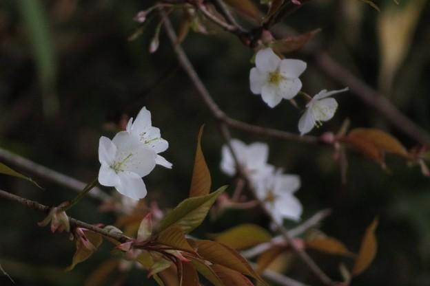 山桜_8025