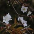 Photos: 山桜_8025