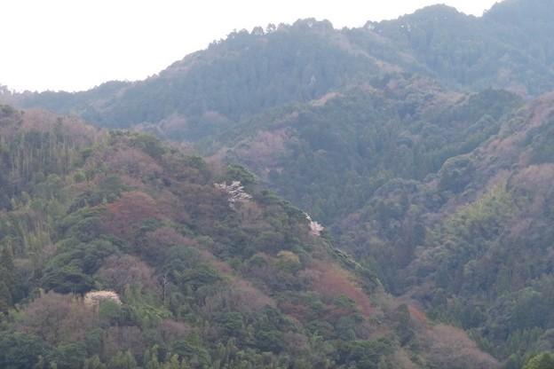 山桜咲く小山_8008