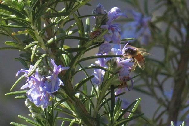 ローズマリー&蜜蜂_8069