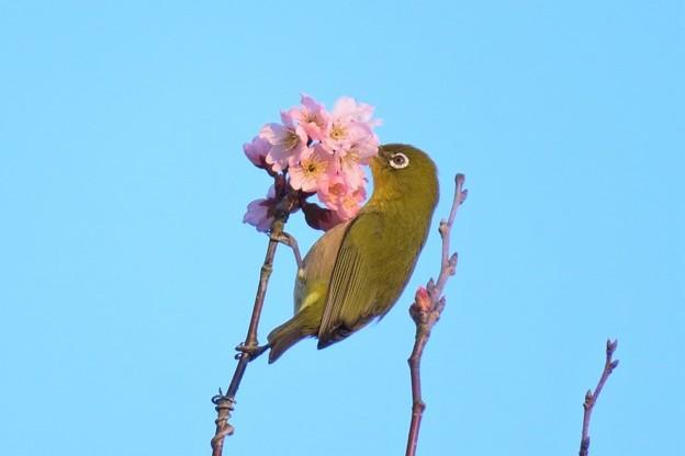 彼岸桜メジロ_8054