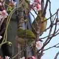 彼岸桜メジロ♂♀_8179