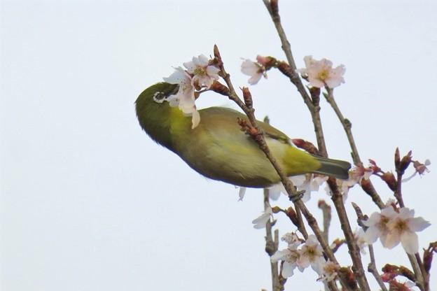 彼岸桜メジロ_8283