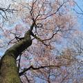 山桜(臼杵大岩)_8606