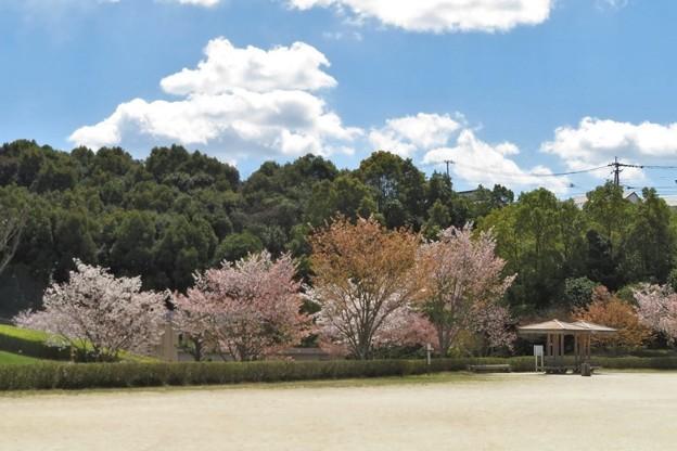 山桜(公園)_8753