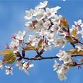 山桜_8758