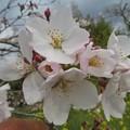 Photos: 桜の花びら3枚、4枚_8812
