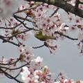 桜メジロ_8930
