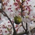 桜メジロ_8954
