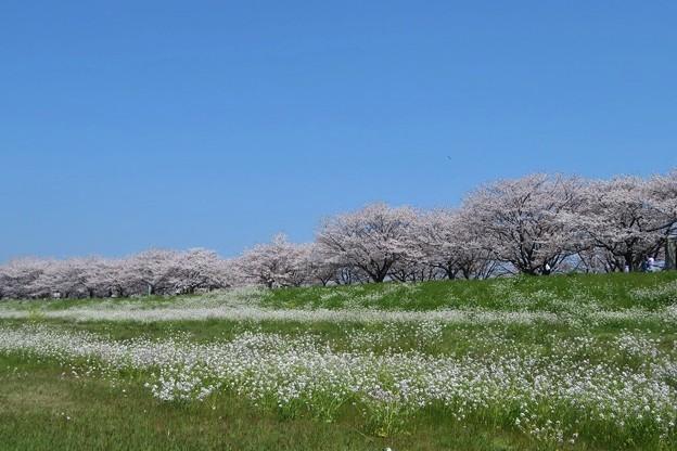 桜&ハマダイコン(大野川)_9031