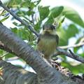 ヤマガラ幼鳥_0565
