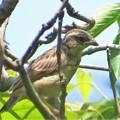 Photos: ホオジロ幼鳥_1033