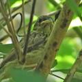 ホオジロ幼鳥_1035