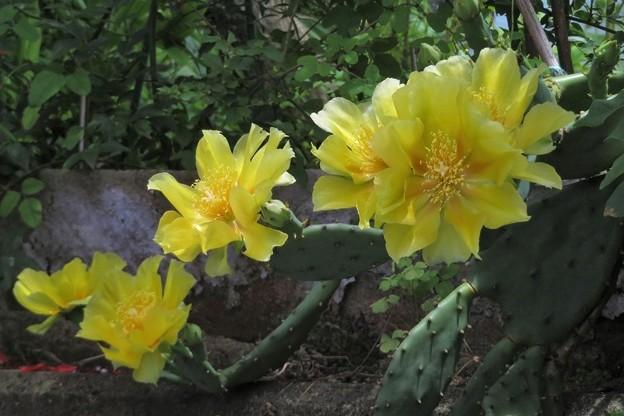 サボテンの花_1440