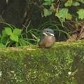 カワセミ幼鳥_4435