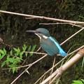 カワセミ幼鳥_4452