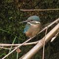 カワセミ幼鳥_4492