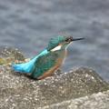 カワセミ幼鳥_4556