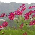 秋桜_4788