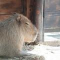 写真: Dreaming Capybara