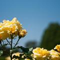 写真: Yellow Rose