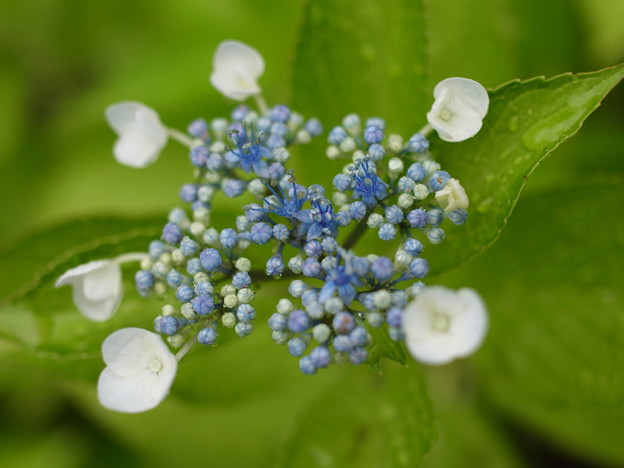 A Young Hydrangea