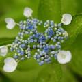 写真: A Young Hydrangea