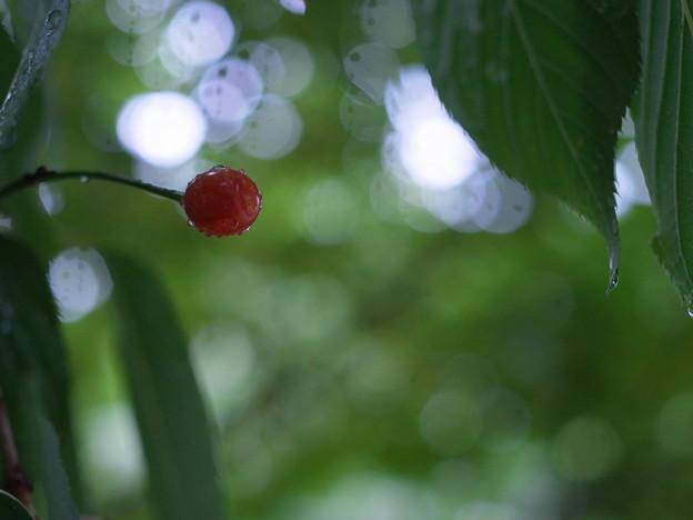 写真: A Wild Cherry