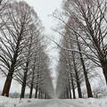 Photos: メタセコイヤ並木 冬ソナ風