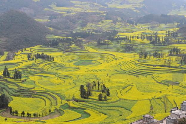 雲南省羅平 牛街の菜の花畑#4