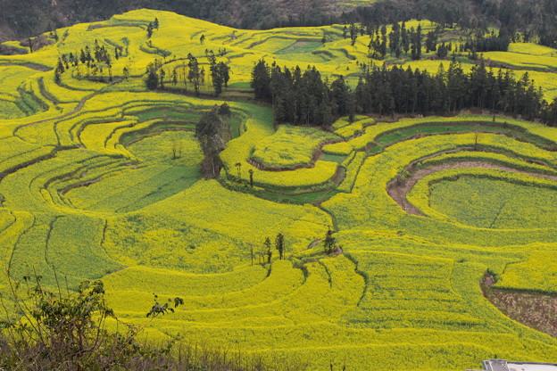 雲南省羅平 牛街の菜の花畑#7