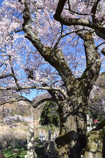 300年の幹(清水の桜)