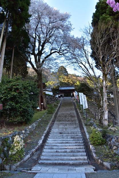 行基桜(酒波寺)