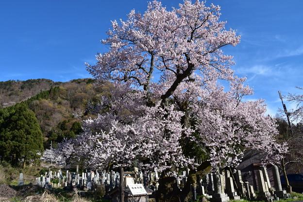 清水(しょうず)の桜