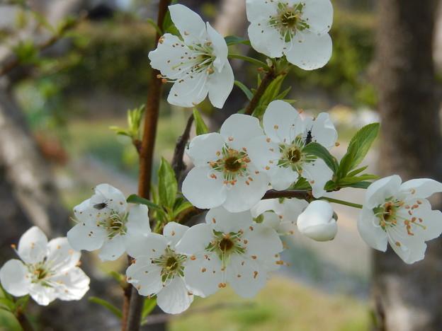 清々しい桜