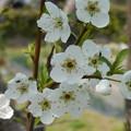 写真: 清々しい桜
