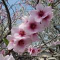 写真: アーモンドの花