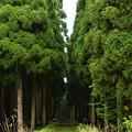 写真: 杉林の小道