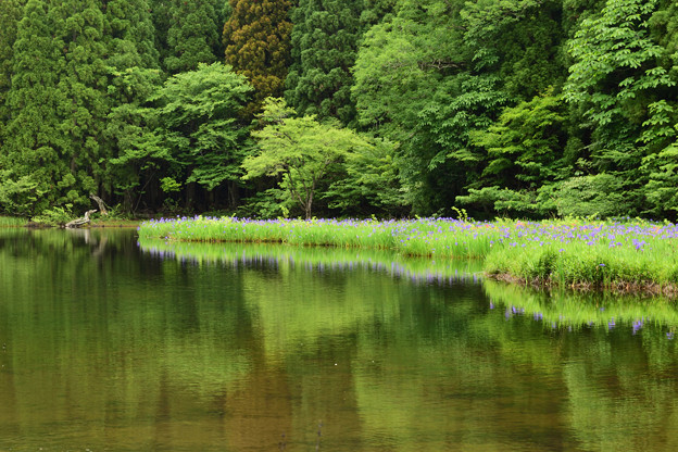 平池 カキツバタ 新緑