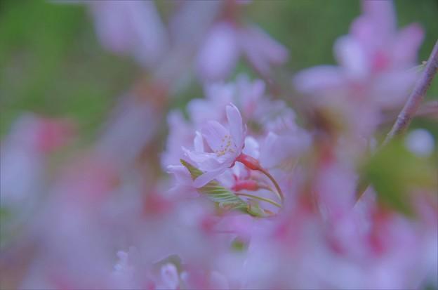 Photos: シダレザクラ