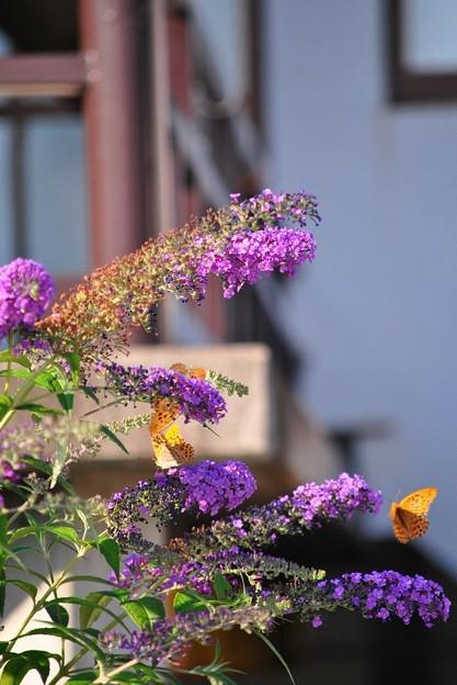 蝶を引きつける花