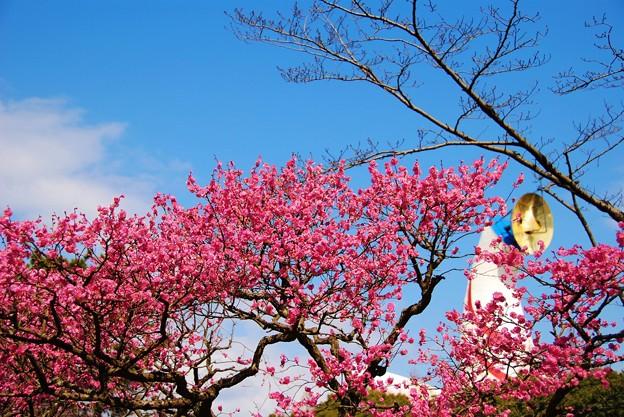 梅花祭り、